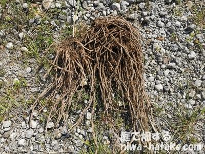 根が空洞化したアスパラガスの写真