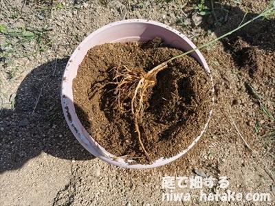 アスパラガスの植え替え写真