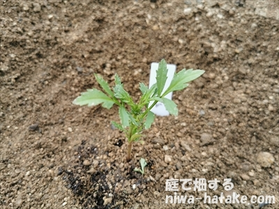 マリーゴールドの苗の植え付け