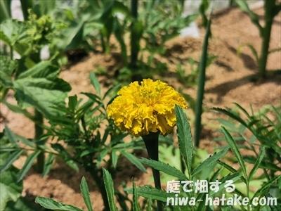 マリーゴールドの開花
