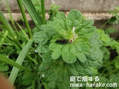 テントウムシの幼虫とホトケノザの画像