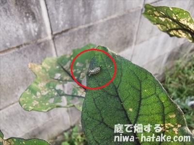テントウムシダマシの幼虫