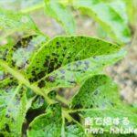 ジャガイモの葉に黒い斑点ができる写真