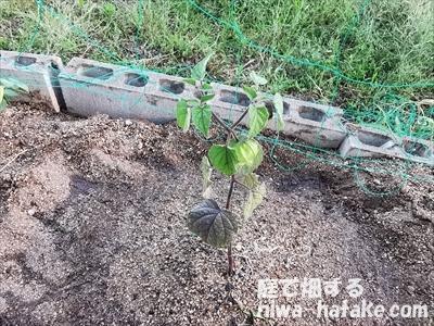 ホオズキの苗の植え付け